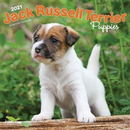 Jack Russell Terrier Puppies Wall Calendar