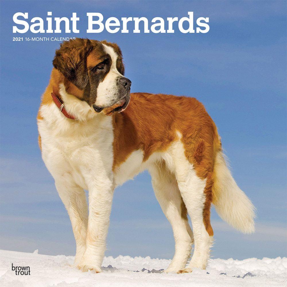 Saint Bernards 2021 Wall Calendar