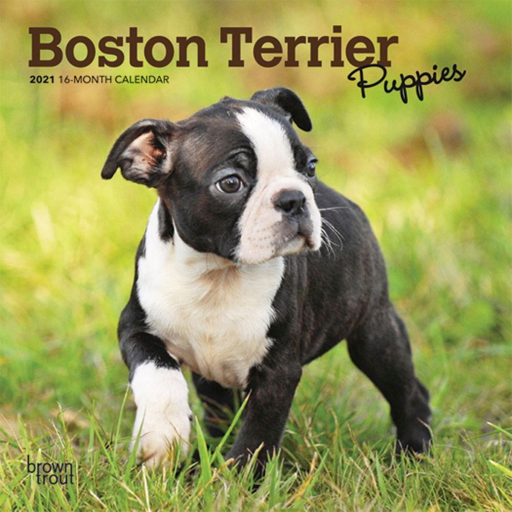 Boston Terrier Puppy All Occasions Apology Blank Card