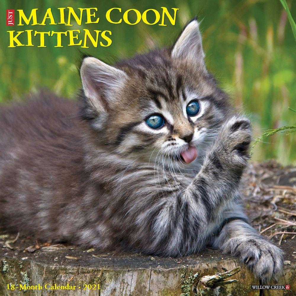 Maine Coon Kittens 2021 Wall Calendar
