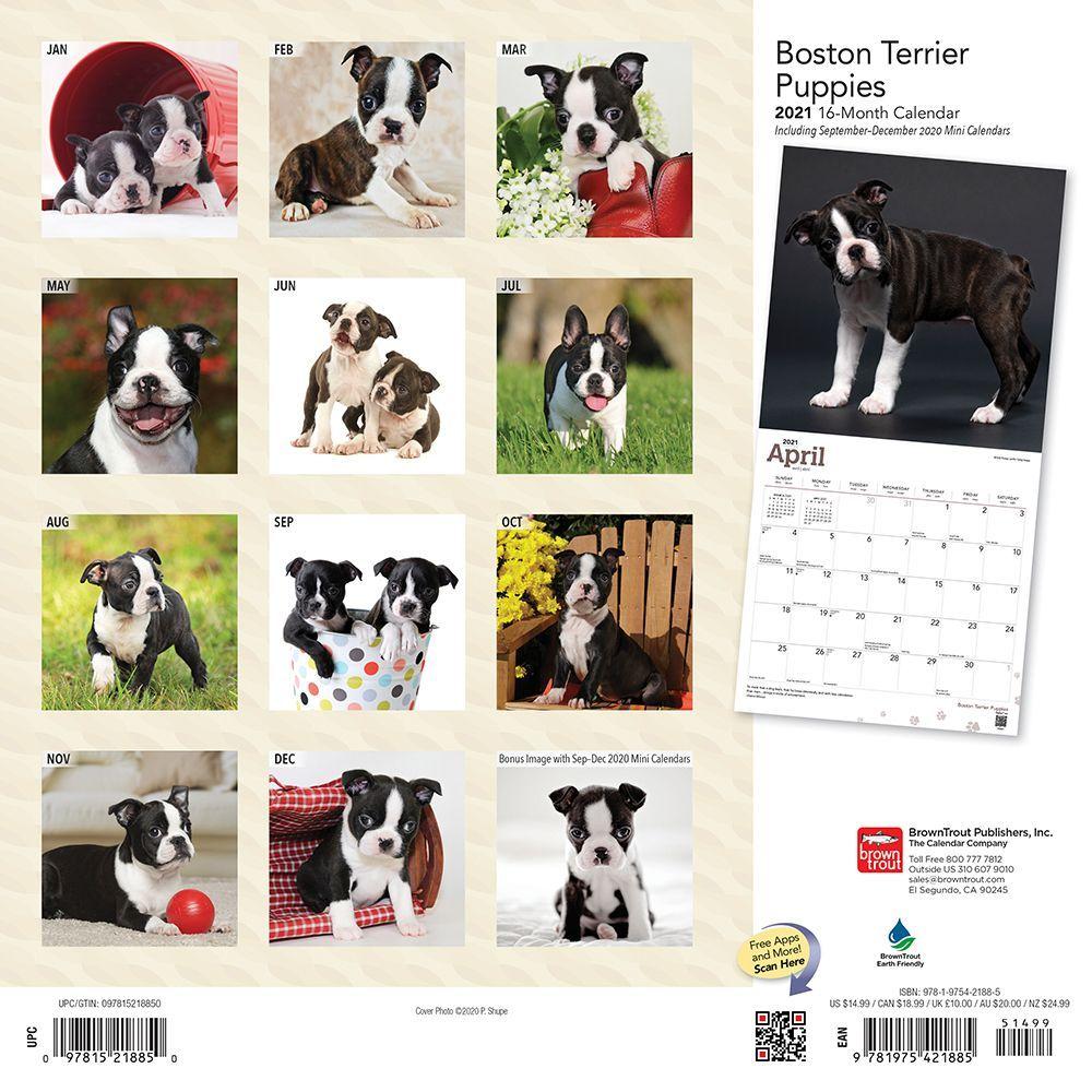 BOSTON TERRIER PUPS 2020 Calendar Magnet #0886