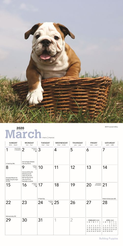 Bulldog-Puppies-Mini-Wall-Calendar-image-9