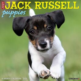 Jack Russell Puppies Wall Calendar