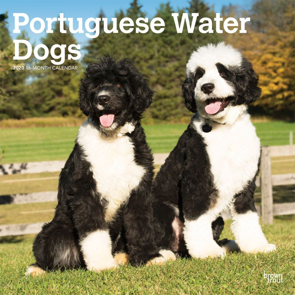 Portuguese-Water-Dogs-Wall-Calendar-1