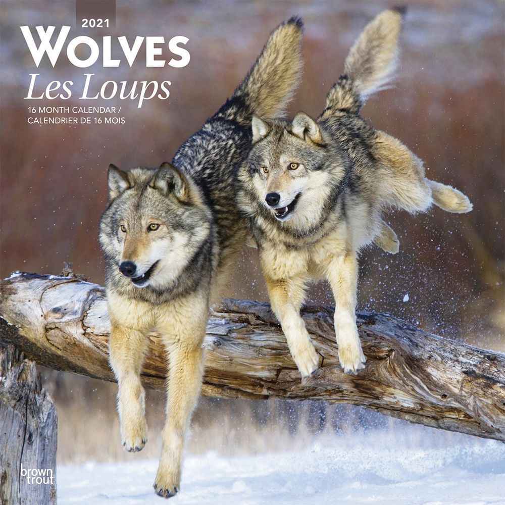 2021 Wolves Wall Calendar (French)
