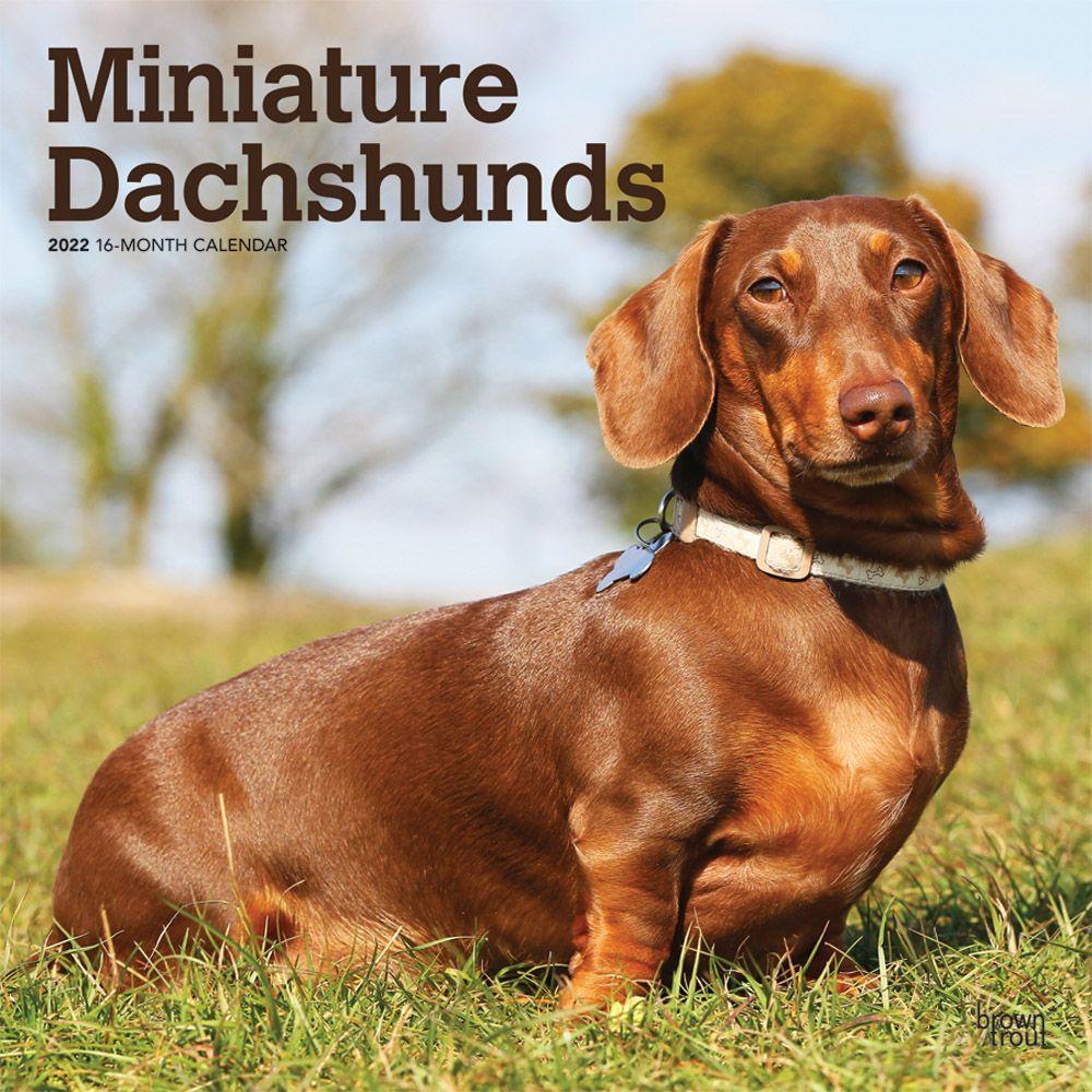 Miniature Dachshunds 2022 Wall Calendar