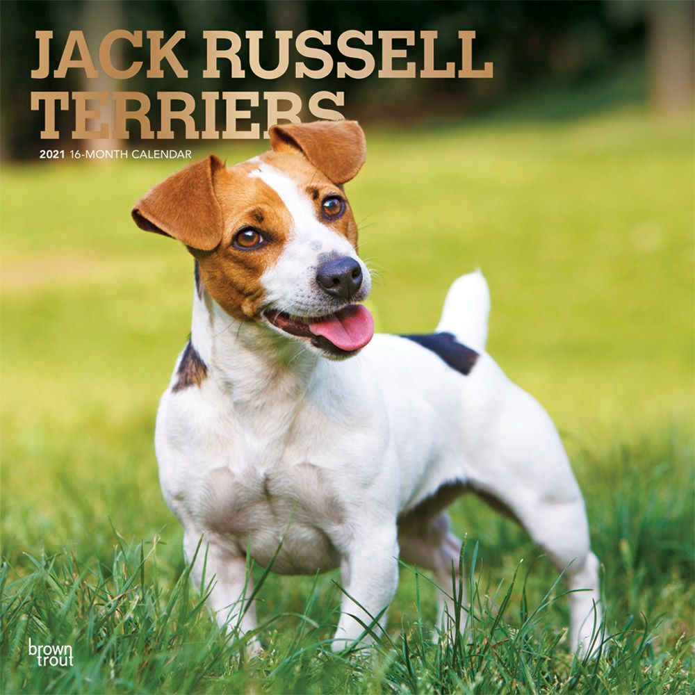 Jack Russell Terriers 2021 Wall Calendar