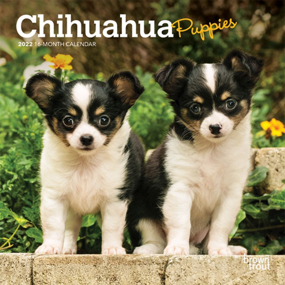 Chihuahua Puppies 2022 Mini Wall Calendar
