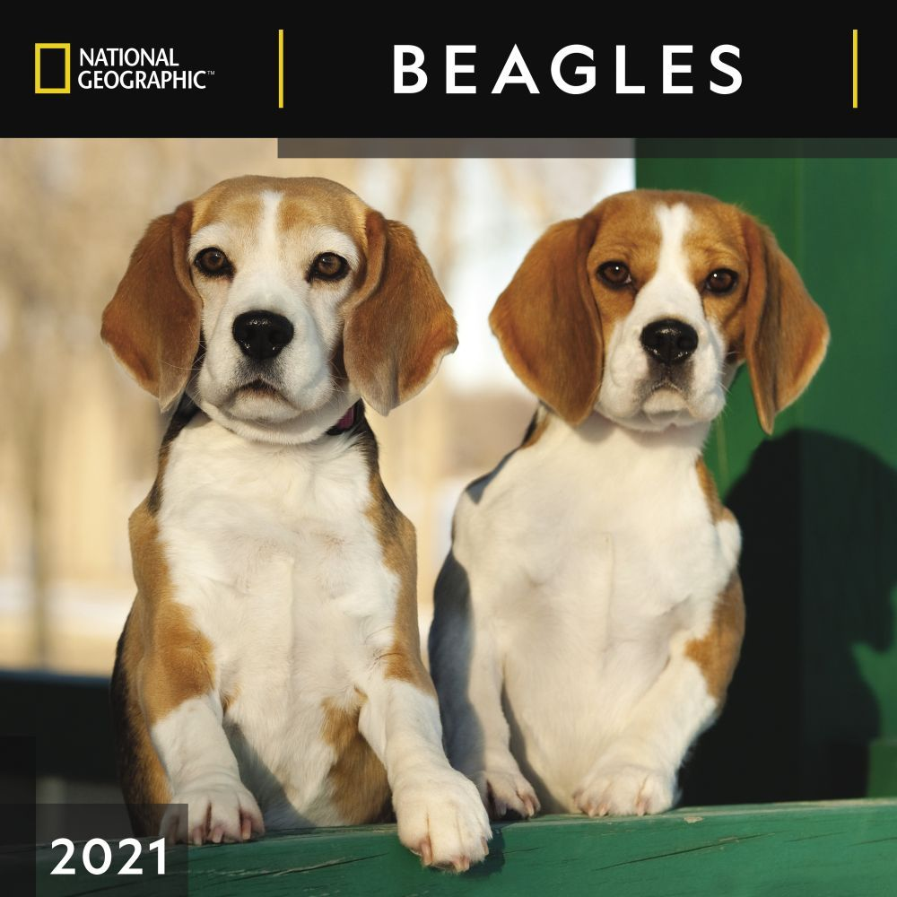 Beagles National Geographic 2021 Wall Calendar