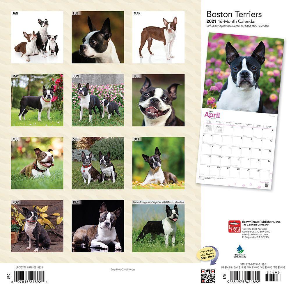 Boston Terrier Calendar 2021 Wallpaper