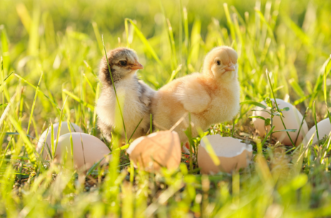 Read Article on Know How to Care for Chicks